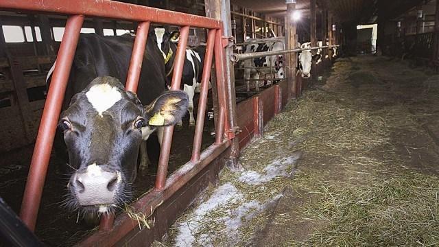 Yhden lehmän vuoden jätöksillä tuotetulla biokaasulla pääsee kaasukäyttöisellä henkilöautolla 5 000 kilometriä. Ja tuottaa se lehmä lisäksi maitoakin.